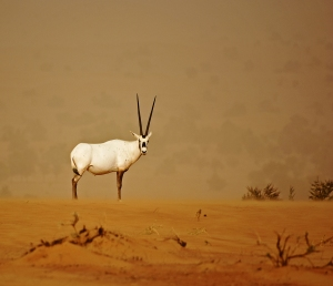 Arabian Oryx by Ken Mayled - Winner of The David Hunt Trophy 2015