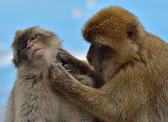 Barbary Apes Delousing by Phil Stillman